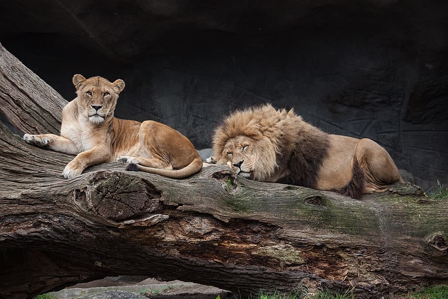 Seis leones y tres tigres de zoológico de Washington dieron positivo a COVID-19